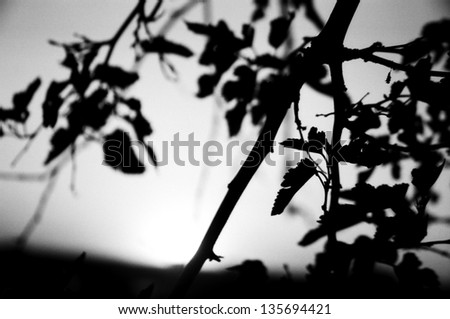 Silhouette of Branches and Leaves - stock photo