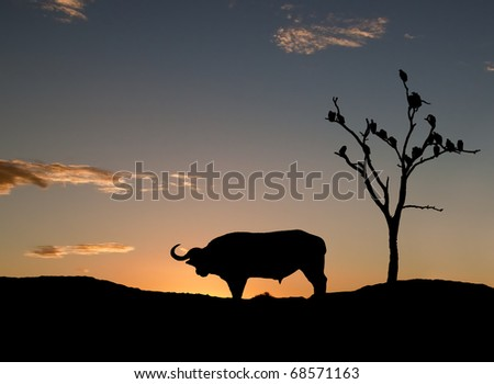 Silhouette of buffalo and vultures on sunset in Africa
