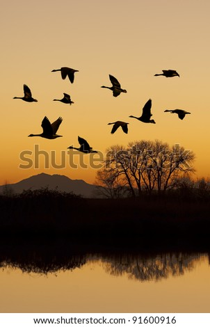 Silhouette of Canadian geese in flight at sunset over wild life refuge, San Joaquin Valley, California. - stock photo
