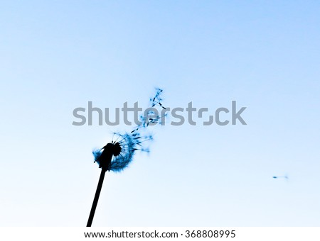 Silhouette of dandelion that blown away and light blue sky. Photo has copy spa?e. - stock photo