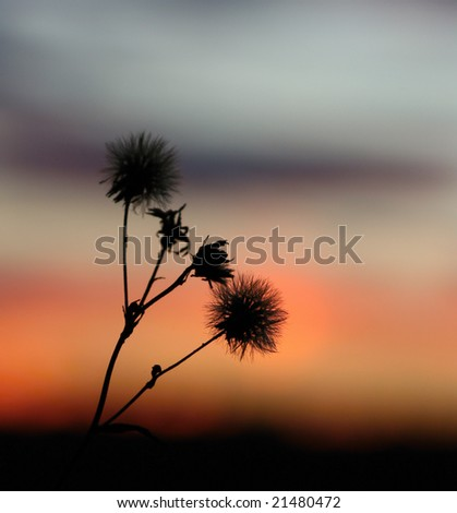 Silhouette of dry flower in sunset - stock photo