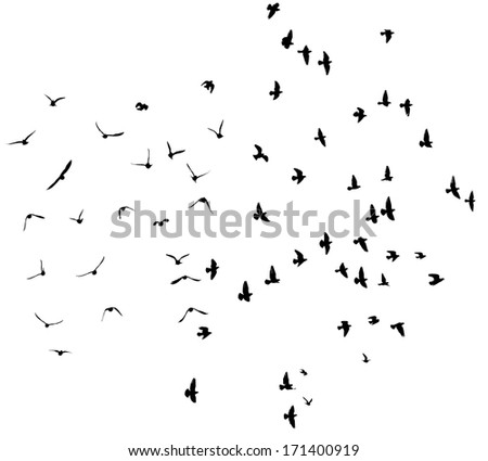Silhouette of flying pigeons isolated on white.