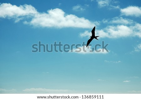 Silhouette of Frigate bird flying in the sky of Galapagos. - stock photo
