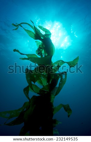 Silhouette of giant kelp framed against the sun and sun rays in clear water