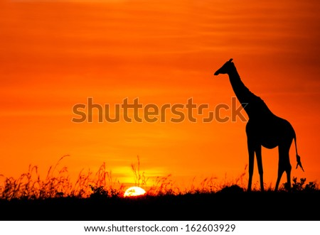 Silhouette of giraffe against the African sunset  - stock photo