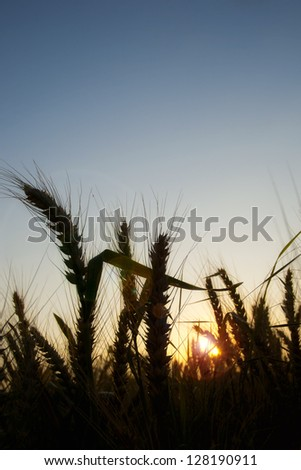 Silhouette of golden wheat ears during sunset - stock photo
