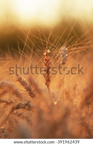 Silhouette of golden wheat growing in a field at sunset, Selective Focus - stock photo