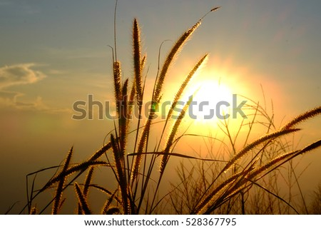 Silhouette of Grass Flowers against the Sun set