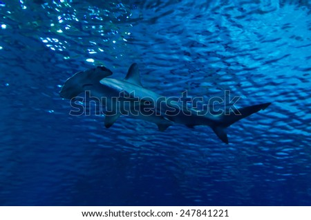 Silhouette of hammerhead shark in the water - stock photo