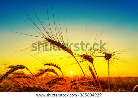 silhouette of harvest on field. golden and blue color in sunset - stock photo