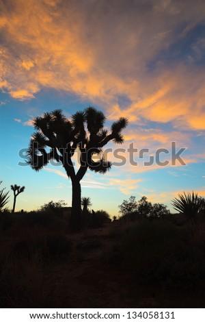 Silhouette of Joshua tree at sunset. USA. California. - stock photo