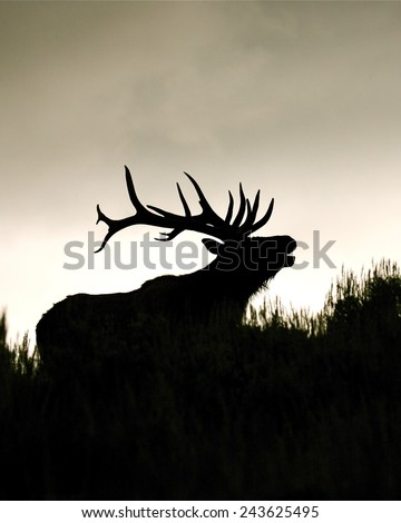 Silhouette of large bull elk stag, bugling / calling vertical format Rocky Mountain Elk, Cervus canadensis
