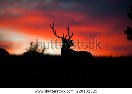 Silhouette of North American elk standing on a hillside at sunrise in Rocky Mountain National Park, Colorado - stock photo