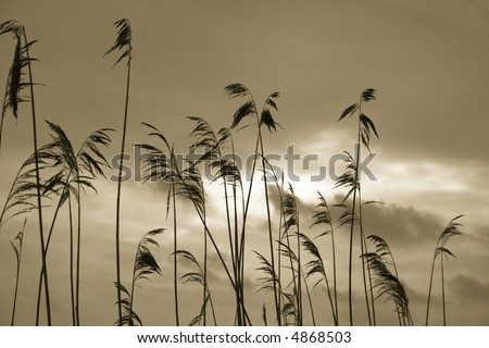 Silhouette of reed plants - stock photo