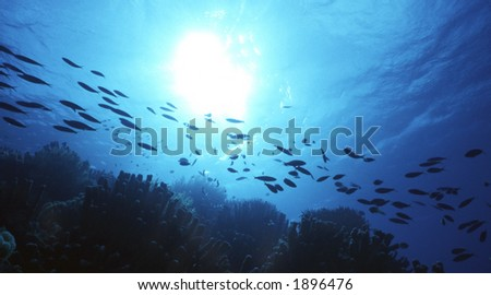 Silhouette of reef fish over a shallow reef in the Cayman Islands, Caribbean - stock photo