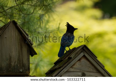 Silhouette of  Steller's Jay (Cyanocitta stelleri) on top of a bird house. - stock photo