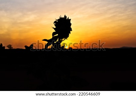 Silhouette of sunflowers on the sun. - stock photo