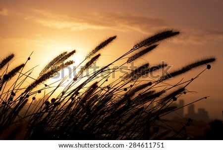 Silhouette of tall grass at sunset