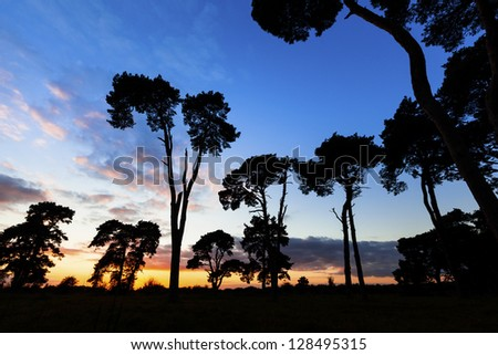Silhouette of tall Scots pine trees at sunset