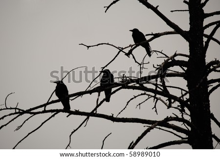 Silhouette of three crows in a dead tree - stock photo