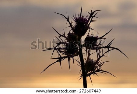 Silhouette of wild thistle at dawn - stock photo