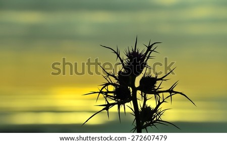 Silhouette of wild thistle on skyline with color effect at dawn - stock photo