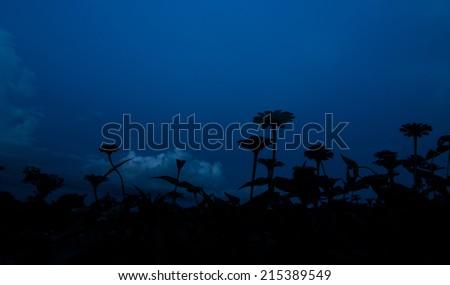 Silhouette of Zinnia garden in blue sky - stock photo