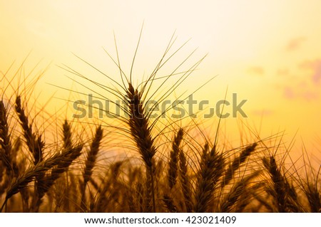 Silhouette photo of wheat field in sunrise in summer. Selective focus of wheat ears in sunrise background. Vintage photo with custom white balance. color filters