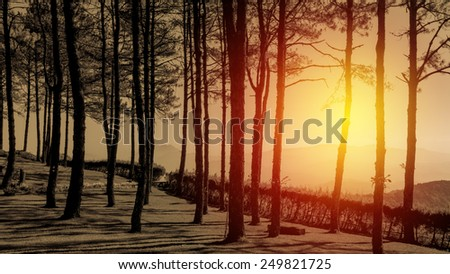 silhouette pine tree with sunlight effect. Vintage filter. - stock photo