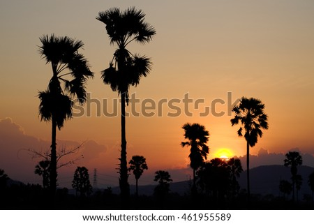 Silhouette sugar palm tree before sunset