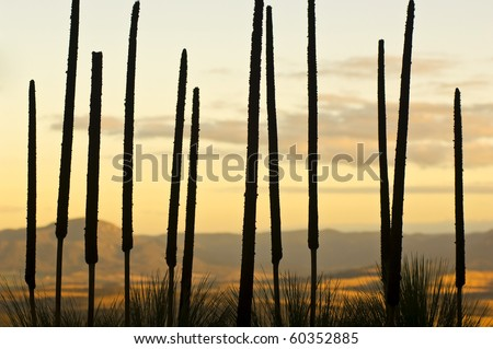 Silhouetted tops of the Grass Tree (xanthorrhoea or black boy), Australia.