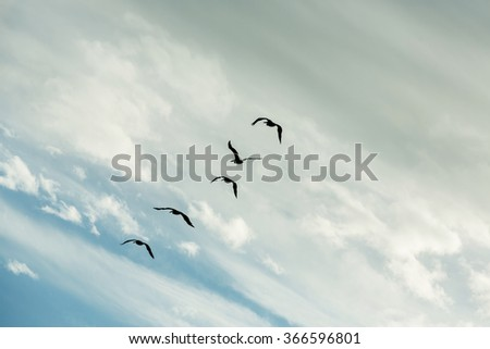 Silhouettes of five pelicans flying against the blue sky with beautiful clouds. Cape Coral. Florida - stock photo