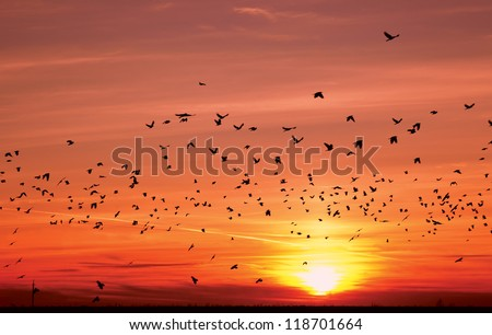 silhouettes of flying migratory birds over sun during sunset