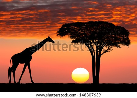 Silhouettes of giraffe and acacia tree on the beautiful sunset background in the Serengeti Park. Tanzania. Africa.  - stock photo
