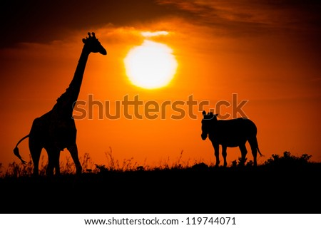 Silhouettes of giraffe and zebra against the African sunset - stock photo