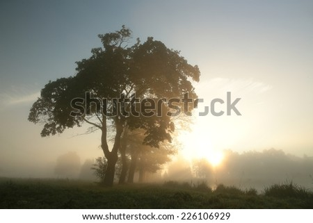 Silhouettes of maple trees on a foggy autumn morning. - stock photo