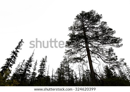 silhouettes of old conifer trees on gray sky in scandinavian wilderness - stock photo