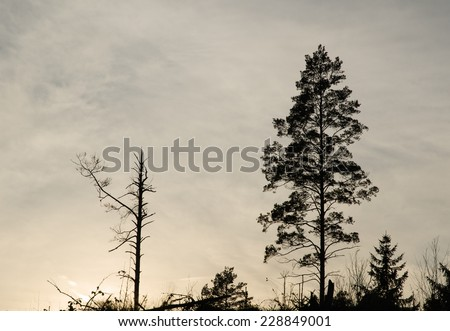 Silhouettes of on dead pine tree and one tall living pine tree - stock photo