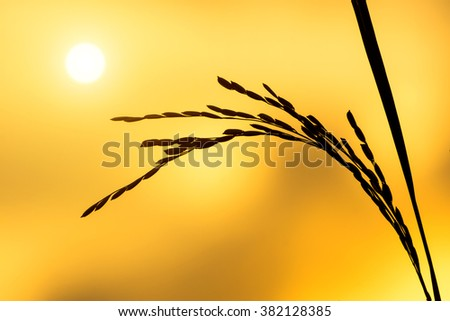 Silhouettes  of rice plant in sunset. - stock photo