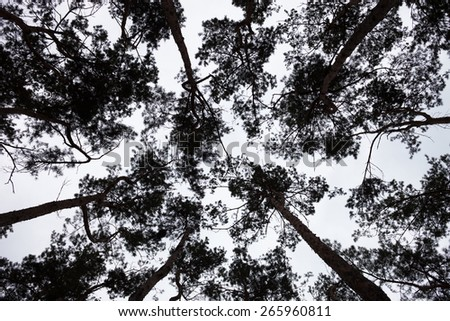Silhouettes of the pine treetops against the sky. - stock photo