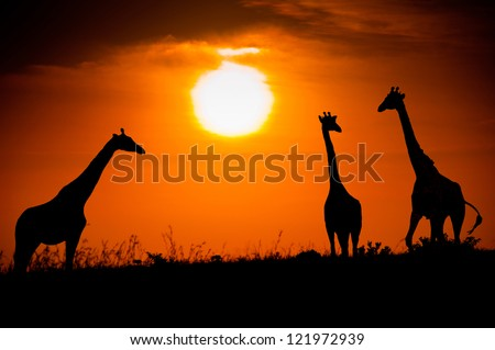 Silhouettes of three giraffes against the African sunset - stock photo
