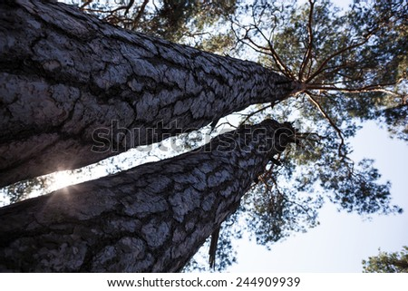 Silhouettes of two thick pine tree trunks and tops against the sky with the shining sun - stock photo