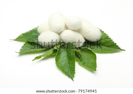 Silk Cocoon Images Silk Cocoons on Green Mulberry