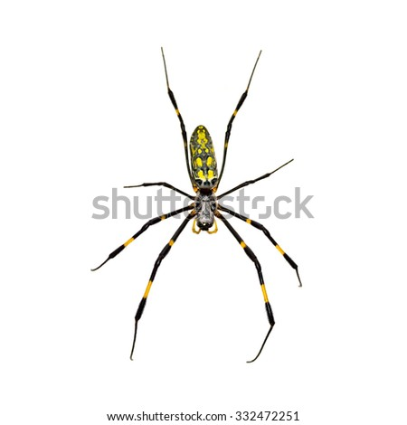 Silk Spider isolated on white background. - stock photo