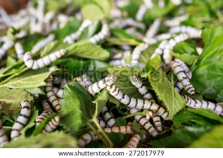 Silk worm eating mulberry green leaf nature - stock photo