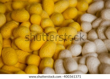 silk worm silk worm cocoons in white and yellow nests, thailand