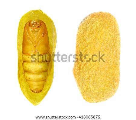 Silkworm (Bombyx mori), pupa of Silk Moth in cocoon isolated on a white background
