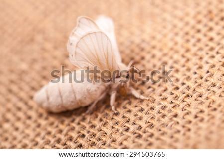 silkworm moth on  flax cloth - stock photo