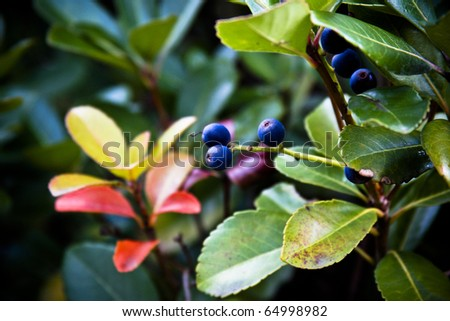 Silky Dogwood blue berries - stock photo