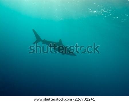 Silky shark (Carcharhinus falciformis) under water - stock photo